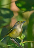 WhiteEyedVireo-EmeraldaMarsh-10-11-19-SJS-002