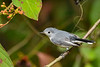 BlueGrayGnatcatcher-BourlayNatureParkFL-10-15-19-SJS-008