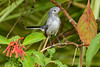 BlueGrayGnatcatcher-BourlayNatureParkFL-10-15-19-SJS-004
