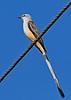 Scissor-tailedFlycatcher-OrangeCoFL-11-5-19-SJS-017
