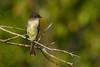 EasternPhoebe-OcalaNationalForest-11-7-19-SJS-003