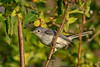 BlueGrayGnatcatcher-EmeraldaMarsh-10-16-19-SJS-001
