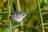 BlueGrayGnatcatcher-EmeraldaMarsh-11-1-19-SJS-001