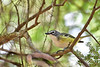 BlueHeadedVireo-BlackwaterFallsSP-5-9-19-SJS-006
