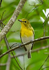 YellowThroatedVireo-OlenoSP-8-22-20-sjs-002