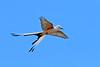 Scissor-TailedFlycatcher-Texas-6-20-18-SJS-009