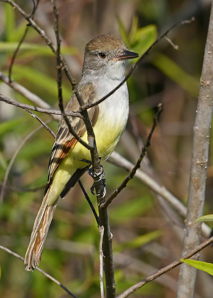 Great-CrestedFlycatcher-EmeraldaMarshFL-11-17-18-SJS-005
