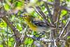 YellowThroatedVireo-FortDeSoto-4-22-19-SJS-003