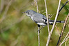 Blue-GrayGnatcatchers-LAWD-11-16-18-SJS-002