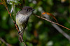 EasternPhoebe-EmeraldaMarsh-11-27-19-SJS-001