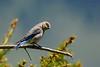 WesternBluebirdFemaleYellowstoneNP-2016-sjs-002