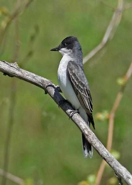 EasternKingbird-MageeMarsh-5-7-18-SJS-004