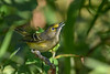 WhiteEyedVireo-EmeraldaMarsh-10-11-19-SJS-005