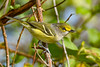 WhiteEyedVireo-EmeraldaMarsh-11-3-20-sjs-01