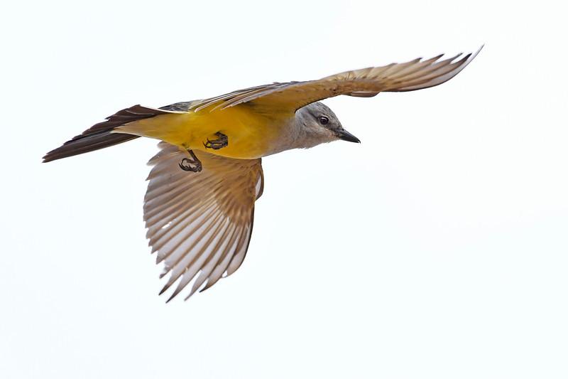 WesternKingbird-Texas-6-20-18-SJS-006