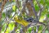 YellowThroatedVireo-FortDeSoto-4-22-19-SJS-002