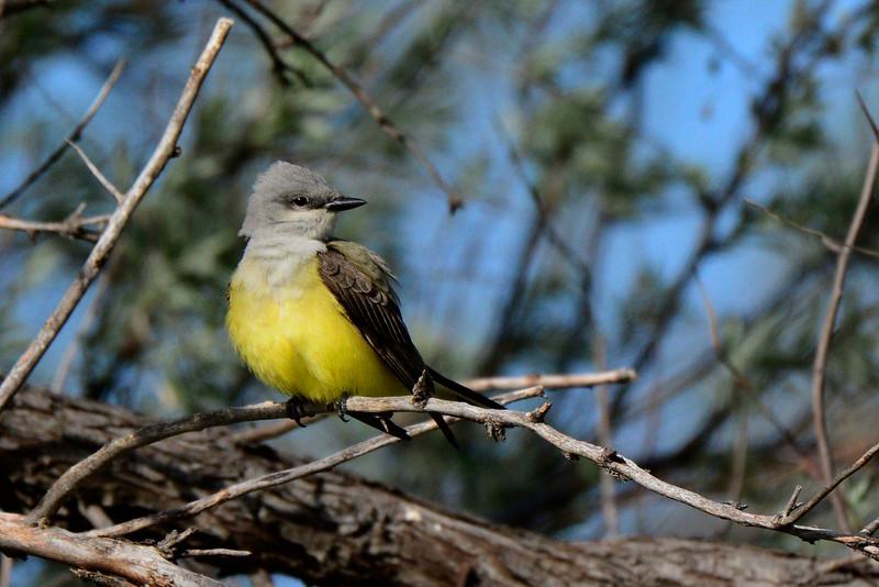 WesternKingbird-2015-006