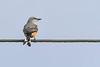 Scissor-tailedFlycatcher-OrangeCoFL-11-3-19-SJS-003