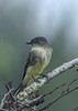 EasternPhoebe-EmeraldaMarsh 10-22-19-SJS-002
