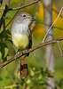 Great-CrestedFlycatcher-EmeraldaMarshFL-11-17-18-SJS-007