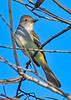 AshThroatedFlycatcher-EmeraldaMarsh-10-30-19-SJS-005