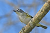BlueHeadedVireo-EmeraldaMarsh-11-2-19-SJS-002