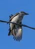 GrayKingbird-SarasotaFL-7-10-20-SJS-02