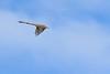 Scissor-tailedFlycatcher-OrangeCoFL-11-3-19-SJS-014