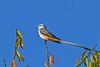 Scissor-tailedFlycatcher-OrangeCoFL-11-5-19-SJS-005
