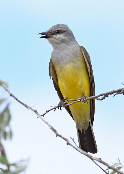 WesternKingbird-Texas-6-20-18-SJS-005