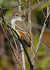 Great-CrestedFlycatcher-EmeraldaMarshFL-11-17-18-SJS-003