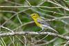 YellowThroatedVireo-OcalaNF-4-26-20-SJS-013