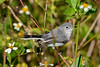 Blue-GrayGnatcatchers-LAWD-11-16-18-SJS-001