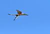 Scissor-TailedFlycatcher-Texas-6-20-18-SJS-006