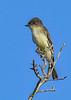 EasternPhoebe-OcalaNationalForest-11-7-19-SJS-002