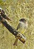 EasternPhoebe-OcalaNationalForest-12-5-18-SJS-001