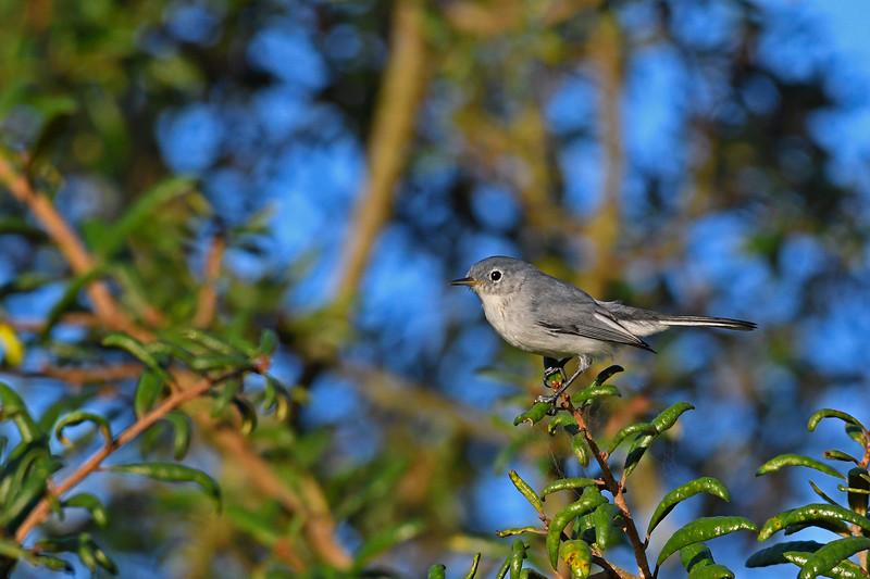 Blue-GrayGnatcatcher-OcalaNF-9-24-18-SJS-004