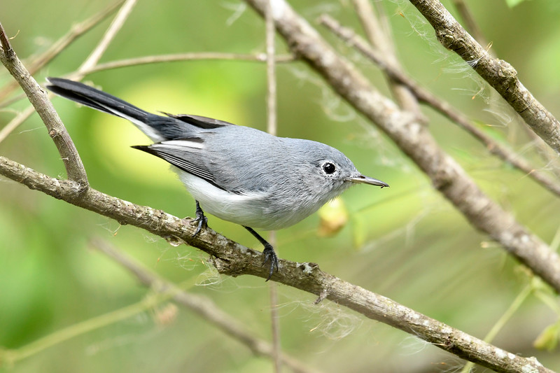 Blue-GrayGnatcatcher-LAWD-9-21-19-SJS-001