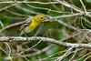 YellowThroatedVireo-OcalaNF-4-26-20-SJS-016
