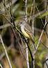 Great-CrestedFlycatcher-EmeraldaMarshFL-11-17-18-SJS-001