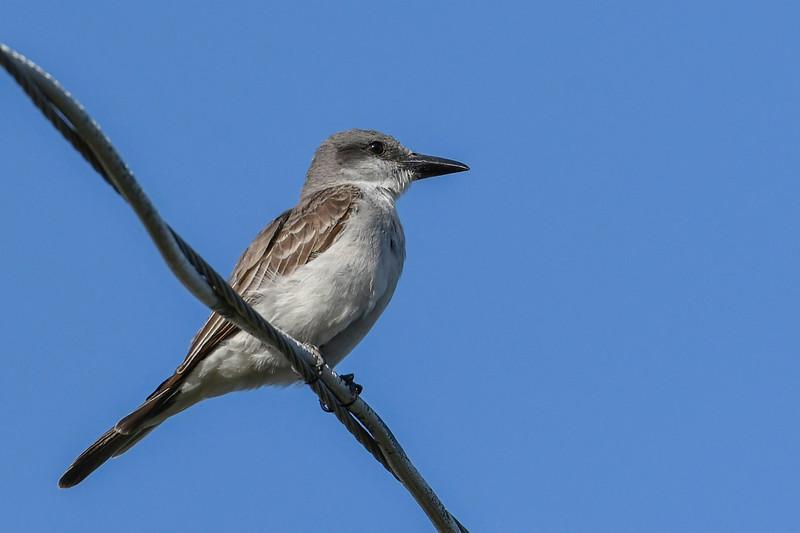 GrayKingbird-SarasotaFL-7-10-20-SJS-01