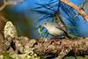 BlueGrayGnatcatcher-OcalaNF-10-31-2020-sjs-002