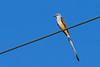 Scissor-tailedFlycatcher-OrangeCoFL-11-5-19-SJS-016