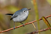 Blue-GrayGnatcatchers-LAWD-11-16-18-SJS-005