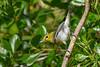 YellowThroatedVireo-OcalaNF-4-27-20-SJS-002