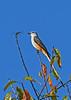 Scissor-tailedFlycatcher-OrangeCoFL-11-5-19-SJS-008