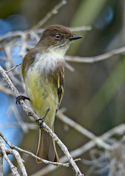 EasternPhoebe-EmeraldaMarsh-1-29-20-SJS-001
