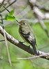 LeastFlycatcher-MM-5-18-17-SJS-003