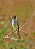 Ash-throatedFlycatcher-LAWD-1-6-17-SJS-006