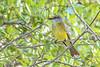 TropicalKingbird-SarasotaFL-7-10-20-SJS-04